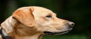 My Golden Labrador